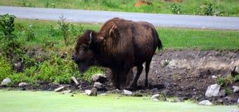 El bisonte es ungulates grandes, uniforme-tocados con la punta del pie fotos de archivo
