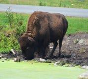 El bisonte es ungulates grandes, uniforme-tocados con la punta del pie foto de archivo