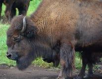 El bisonte es ungulates grandes, uniforme-tocados con la punta del pie imagenes de archivo