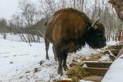El bisonte europeo adulto está comiendo hierbas de los terciopelos Foto de archivo