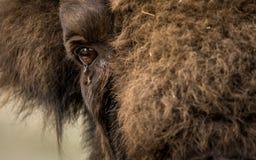 El bisonte europeo, también conocido como bisonte europeo o el bisonte de madera europeo Imágenes de archivo libres de regalías