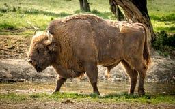 El bisonte europeo, también conocido como bisonte europeo o el bisonte de madera europeo Imagen de archivo