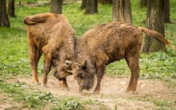 El bisonte europeo, también conocido como bisonte europeo o el bisonte de madera europeo Foto de archivo libre de regalías