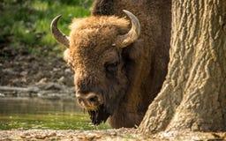 El bisonte europeo, también conocido como bisonte europeo o el bisonte de madera europeo Fotografía de archivo libre de regalías