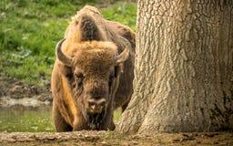 El bisonte europeo, también conocido como bisonte europeo o el bisonte de madera europeo Fotos de archivo