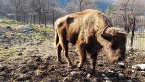 El bisonte se acerca felizmente a la cámara en parque natural en primavera temprana metrajes