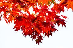 El blanco aisló el árbol de la rama del arce rojo del fondo en el cielo en la estación del otoño, hojas de arce da vuelta al rojo Fotos de archivo