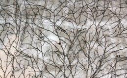 El blanco apenó la pared cubierta en hiedra en primavera temprana imagenes de archivo