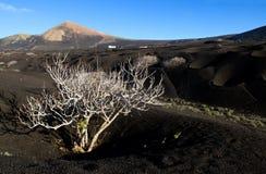 El blanco, arbusto deshojado - Lanzarote, islas canarias Imágenes de archivo libres de regalías