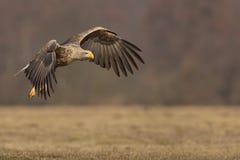 El blanco ató el águila en vuelo, espacio de la copia a la derecha foto de archivo libre de regalías