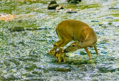 El blanco ató la gama y el cervatillo de los ciervos en corriente Fotografía de archivo libre de regalías