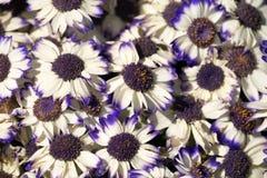 El blanco con Cinerarias púrpuras del ajuste se cierra para arriba Imágenes de archivo libres de regalías
