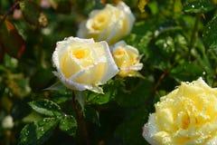 El blanco con las rosas blancas y amarillas se cierra para arriba en una rosaleda Fotografía de archivo libre de regalías