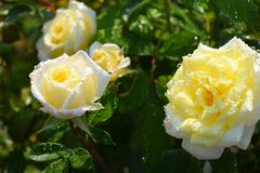 El blanco con las rosas blancas y amarillas se cierra para arriba en una rosaleda Foto de archivo libre de regalías