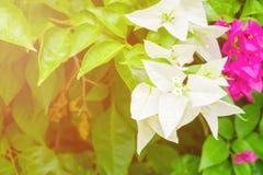 El blanco de la flor de la buganvilla con verde se va hermoso en el jardín con el espacio de la copia añada el texto Imágenes de archivo libres de regalías