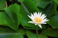 El blanco de la flor de Lotus o el agua Lilly y la abeja chuparon el néctar en polen ciérrese encima de hermoso en naturaleza Imagenes de archivo