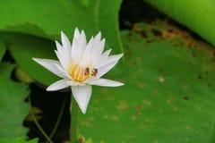 El blanco de la flor de Lotus o el agua Lilly y la abeja chuparon el néctar en polen ciérrese encima de hermoso en naturaleza Imagen de archivo libre de regalías