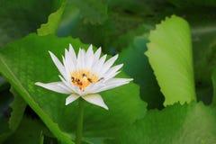 El blanco de la flor de Lotus o el agua Lilly y la abeja chuparon el néctar en polen ciérrese encima de hermoso en naturaleza Fotografía de archivo