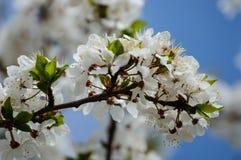 el blanco de la primavera coloreó las hojas en luz del sol brillante Fotos de archivo