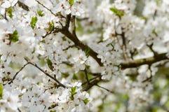 el blanco de la primavera coloreó las hojas en luz del sol brillante Fotos de archivo libres de regalías