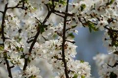 el blanco de la primavera coloreó las hojas en luz del sol brillante Imagenes de archivo