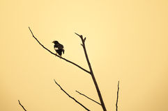 El blanco expresó los pájaros negros que se encaramaban en la rama, pájaro de Myna de Tailandia Fotos de archivo