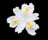 El blanco franjó el japonica floreciente del iris del iris aislado en negro fotos de archivo