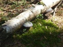 El blanco fungoso de la seta de Polypore crece en un tronco del un árbol de abedul fotos de archivo libres de regalías