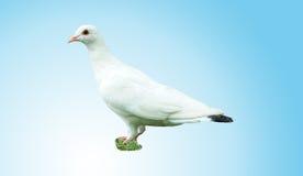 El blanco hermoso elegante se zambulló en un fondo azul Fotografía de archivo libre de regalías