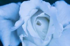 El blanco hermoso se levantó Fotografía de archivo libre de regalías