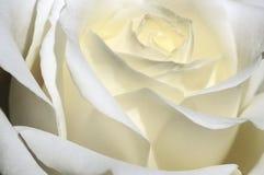 El blanco hermoso se levantó Imágenes de archivo libres de regalías