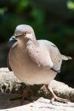 El blanco inclinó la paloma Imagen de archivo libre de regalías