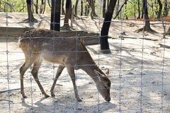 El blanco manchó los ciervos cerrados en la jaula detrás del alambre de púas Imagenes de archivo