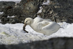 El blanco morph del petrel gigante meridional que come el polluelo fotos de archivo