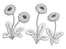 El blanco negro gráfico de la flor de la margarita aisló vector del ejemplo del bosquejo libre illustration