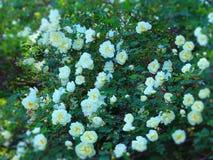 El blanco puede las rosas Imagen de archivo
