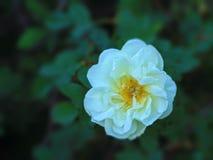 El blanco puede las rosas Foto de archivo libre de regalías
