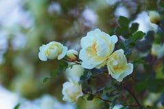 El blanco puede las rosas Fotos de archivo libres de regalías