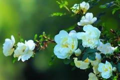 El blanco puede las rosas Fotografía de archivo libre de regalías