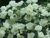 El blanco puede las rosas Imágenes de archivo libres de regalías