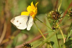 El blanco se fue volando el insecto que se basaba sobre una flor amarilla Imágenes de archivo libres de regalías