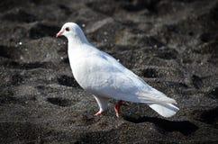 El blanco se zambulló en la playa negra Fotos de archivo libres de regalías