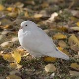 El blanco se zambulló en las hojas de otoño Foto de archivo