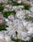 El blanco subió las flores en el jardín, bokeh fuerte fotos de archivo libres de regalías