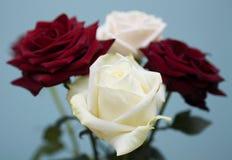 El blanco y es rosas rojo oscuro Imágenes de archivo libres de regalías