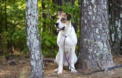 El blanco y el moreno mezclaron el perro de perrito de la raza, foto de la adopción del animal doméstico del refugio para animale Imagen de archivo libre de regalías
