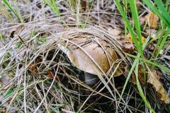 El bolete del abedul de la seta crece en la tierra entre la hierba baja Foto de archivo