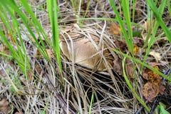 El bolete del abedul de la seta crece en la tierra entre la hierba baja Imagen de archivo