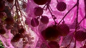El bolso del longan da fruto ejecución en árbol almacen de metraje de vídeo