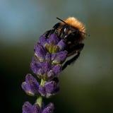 El Bombus común de la abeja de la carda mechera en una lavanda Imagen de archivo libre de regalías